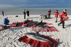 """Morestrandings are expected after 129 dolphins beached themselveson Cape Cod in the last three weeks, with92 dying in""""the single largest stranding"""" of dolphinsin the Northeast since at least 1999, the International Fund for Animal Welfare reported Monday.  On Sunday, four dolphins were strandedalong Cape Cod's hook-shapedpeninsulaand were quickly helped back to sea.The Massachusetts peninsulasees many dolphin strandings each year, butthe129 since Jan. 12 is typically about what rescuers see over an entire year, based on records that go back to 1999, IFAW marine mammal rescue manager Katie Moore told msnbc.com."""