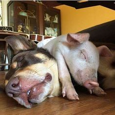 Rescued Piglet and Dog Napping Together is the Ideal Portrait of Happiness