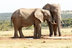 The Love - African Bush Elephant The Love - The African bush elephant is the larger of the two species of African elephant. Both it and the African forest elephant have in the past been classified as a single species.