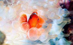 Clownfish In Anemone Fish Wallpaper Iphone, Animal Wallpaper, Mobile Wallpaper, Wallpaper Backgrounds, Wallpapers, Good Clowns, Sea Anemone, Saltwater Tank, Beautiful Fish