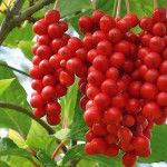 The lignans in the berry appear to protect the liver by stimulating cells that produce much needed antioxidants. Schisandra Berries (Schisandra chinensis) for sale. Berry, Pesto, Chinese Fruit, Garden Snakes, Fruit Fast, Ketchup, Banana Flower, Seed Germination, Herb Seeds