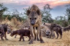 """earth-song:    """"Hyena Clan"""" by Deon De Villiers  Spending time with these highly intelligent animals can be hugely rewarding, you just need to know where, when and how!This family of spotted hyena had no problem with my intrusion as they went about their family matters in the Moremi Game Reserve…"""