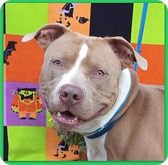 Act quickly to adopt. Pets at this Shelter may be held for only a short timMarietta, GA - American Pit Bull Terrier Mix. Meet CARSON a Dog for Adoption.
