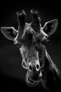 Giraffe portrait (11-giraffe-baheux) Masai Mara, Kenya, 2006 © Laurent Baheux