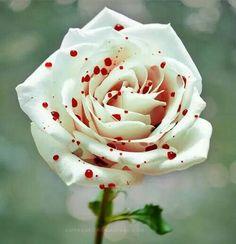 Polka dot rose