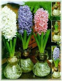 How to grow flower bulbs in water pinterest bulbs water and forcing bulbs bring spring flowers indoors and shorten winter doldrums mightylinksfo