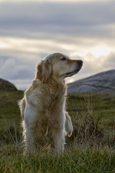 Golden Retrievers are the best, most loyal dogs.  This reminds me of my Missy that I lost several years ago.