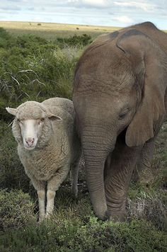 The African elephant and the sheep    Themba the elephant lost his mother when he was just six months old. Vets found a surrogate for Themba - a sheep named Albert. They had a bit of a rocky start, but once they accepted each other, were inseparable until Themba sadly died from a twisted intestine