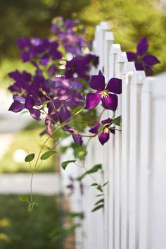 Purple clematis on white picket fence