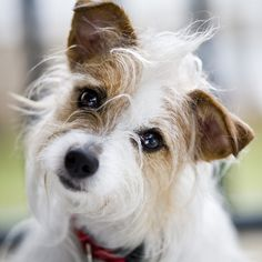 Very similar to my dog Sandy who for 16 years never met a person she did not like to play with or whose lap she wanted to be in. I Love Dogs, Cute Dogs, Jack Russell Puppies, Parson Russell Terrier, Jack Russells, Dog Rules, Little Dogs, Beautiful Dogs, Dogs And Puppies