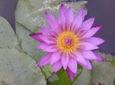 Hilary water lily
