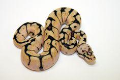 bumblebee ball python. Cute name. ;-)