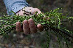 Wild asparagus - null