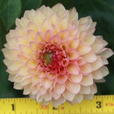 dahlia, chrichton honey