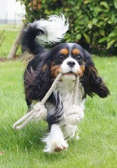Cavalier King Charles Spaniels on Pinterest