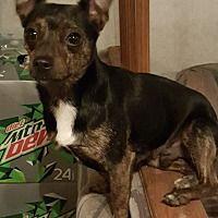 London Kentucky Chihuahua Meet Cowboy A For Adoption Https Www Adoptapet Com Pet 24426499 London Kentucky Chihuahua Chihuahua Pets Pet Adoption