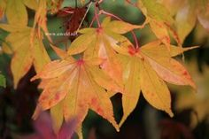 Acer palmatum 'Hondo Ji'