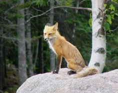 red fox images | Red Fox - © Patty Hoyt