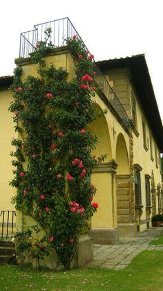 Вьющиеся красивые розы на итальянской вилле.