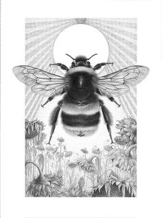 Bombus terrestris - Buff tailed Bumblebee Contemporary drawing - Graphite and charcoal on paper