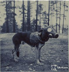 Finnish dog wearing a canine gas mask during the Winter War Military Working Dogs, Military Dogs, War Dogs, Apocalyptic Fashion, Dog Wear, Vintage Dog, Interesting History, Cultura Pop, Service Dogs