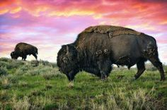 Buffalo Medicine Meaning: Prayer, Abundance, Gratitude. Buffalo People are learning to embrace abundance in many forms; knowing there is mor...
