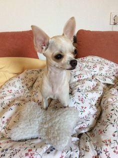 Muffin Chihuahua | Pawshake