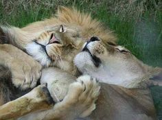 male and female lion cuddling cropped