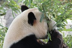 Panda at the Toronto Zoo Photo by: Marcy Stickle
