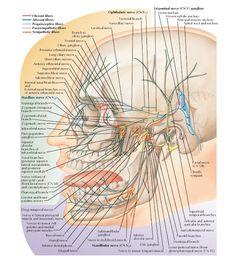 Trigeminal Nerve (CN V): Schema Anatomy Ophthalmic nerve (CN , Tentorial branch , Nasociliary nerve , Lacrimal nerve , Frontal ner. Hip Muscles Anatomy, Muscle Anatomy, Body Anatomy, Human Anatomy, Vagus Nerve, Facial Nerve Anatomy, Bones, Fibromyalgia, Health