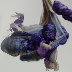indigo--dried iris
