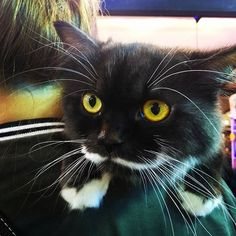 All about beard  #catoftheday #centralplazaladprao #catlover #cat #cats #gato #gatito #petlover #pets #beard #yellow #blackcat #innocent #paws #care #lovely #猫 #愛猫 #ニャンコ #ペット #黒猫 #髭