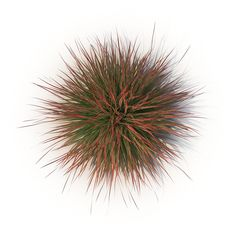 Photorealistic highly detailed model of Cherry sparkler fountain grass. Fountain Grass, Typography Design Layout, Sparklers, Dandelion, Cherry, Landscape, Flowers, Model, Outdoors