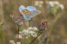 Adonis Blue (Polyommatus bellargus) by Anne Sorbes on 500px