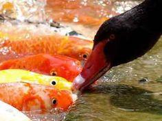 <물고기 밥주는 백조> 사진속 블랙스완은 3년동안 물고기들에게 먹이를 나눠줘 화제네요~  백조는 먹이를 물어다가 골고루 입속에 나눠주고 다시 물속에 들어가 물고기들과 논다고하는데요.   신통방통한 동물들의 우정입니다^^  (사진=Lu Feng)