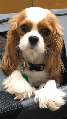 Cavalier King Spaniel, Cavalier King Charles Dog, King Charles Spaniel, American Cocker Spaniel, Cocker Spaniel Puppies, Spaniel Dog, Cute Baby Animals, Animals And Pets, Cutest Animals
