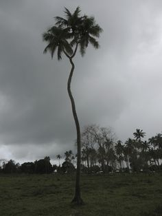 Tongatapu Island tour, three pronged coconut tree– Viatori #tonga #travel #tongatapu #coconuttree