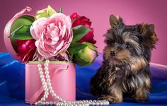 Wallpapers on desktop. Wallpaper flowers, peonies, Yorkshire Terrier, puppy, necklace to download.