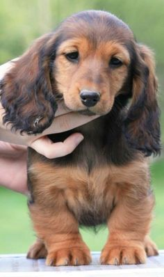 ❤️  Beautiful long-haired dachshund hound puppy.