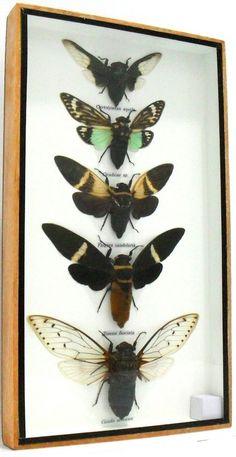 Cicada taxidermy