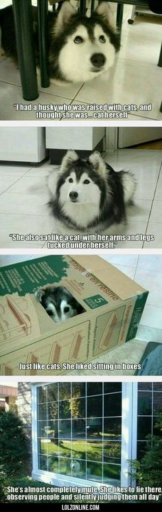 I Had A Husky Who Was Raised With Cats... #lol #haha #funny