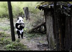 China Panda, huffingtonpost.com: A 4 mo old panda cub is picked up by a researcher disguised as a giant panda. (Woolong Giant Panda Reserve Center, China, 2010) (AP Photo) CHINA OUT  #Panda #China #Woolong_Panda_Reserve_Center #huffingtonpost