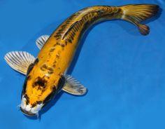 "Live koi fish 14-15"" Doitsu Kin Matsuba Yellow Ghost Koibay"