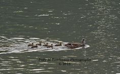 Duck Family by Judy M Tomlinson Photography