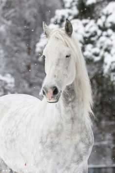 Arabian horse in winter by Vikarus on DeviantArt Horses In Snow, White Horses, Snow Pony, Eyes Closed, Animals And Pets, Cute Animals, All About Horses, Best Friends For Life, Horse Pictures