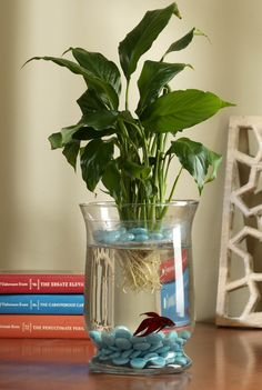 Create a living Eco-system! The peace lily plant acts as a natural air purifier in your home. it cleans . Aquarium Design, Water Plants Indoor, Peace Lily Plant, Betta Fish Tank, Fish Tanks, Ideias Diy, Deco Floral, Aquarium Fish, House Plants