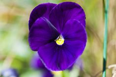 Deep purple pansy with yellow center Spring Colors, Pansies, Deep Purple, Yellow, Plants, Flora, Plant, Violets, Planting