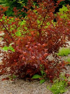 Ninebark coppertina--wonderful colorful flowering shrub that shifts from olive green to deep burgundy as the season progresses. These are getting popular!