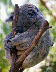 Koala is not even a bear. Koala is marsupial. Sleepy Animals, Cute Baby Animals, Animals And Pets, Funny Animals, Tired Animals, Koala Australia, Koala Baby, Baby Otters, Australian Animals