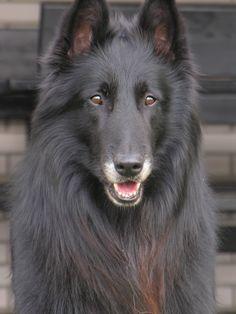Грюнендаль (фото): Игривый красавец, черный как ночь